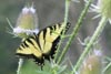 TigerSwallowtail © Mary Anne Romito