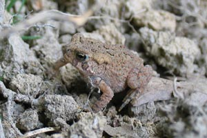 American Toad © Mary Anne Romito