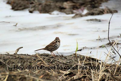 Song Sparrow by Tom Fishburn