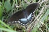 Spicebush Swallowtail � Mary Anne Romito