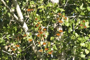 Monach butterflies resting during migration